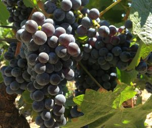 Napa Valley Rutherford Dust Cabernet Sauvignon Grapes
