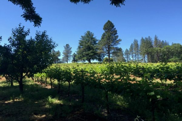 The vineyards at Summit Lake, high atop Howell Mountain owned by Vintner Bob Brakesman