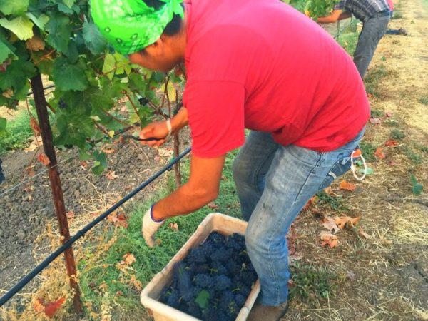 Mumm Napa harvest vineyard workers just after sunrise. On The Wine Siren