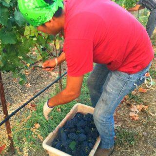 Napa Harvest pickers in the Green Island Vineyard picking Mumm Pinot Meunier