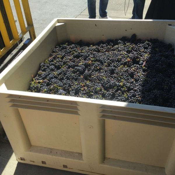 Pinot Meunier Grapes in Bin at Mumm Napa