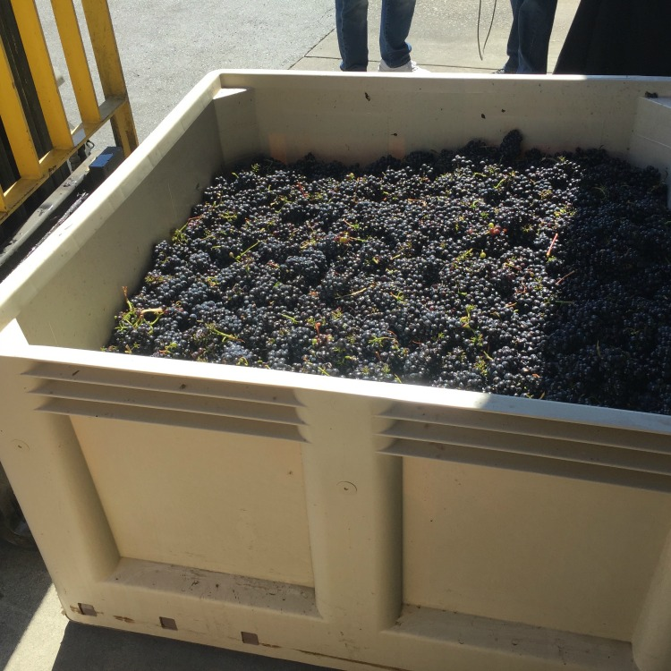 Pinot Meunier Grapes in Bin at Mumm Napa The fruits of the Napa Harvest