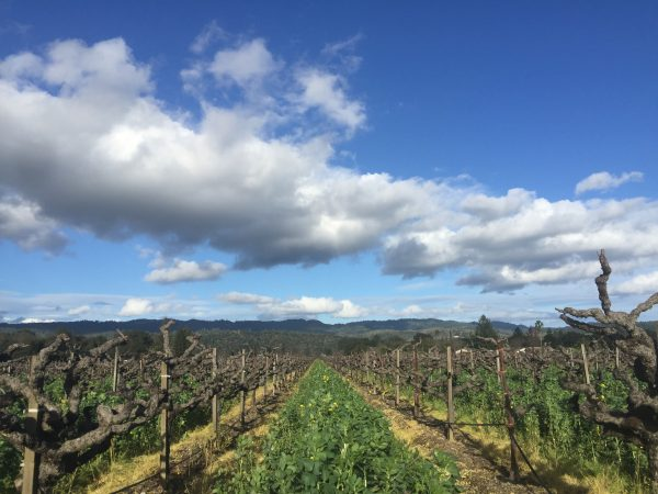 Napa Valley Celebrates Restaurant Week, the Vineyards are lush and green.
