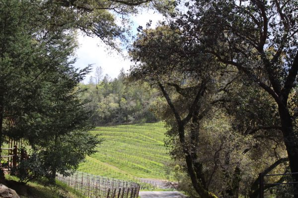 The view of the Cabernet Vines from the terrace