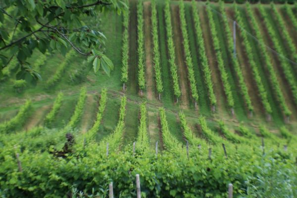 The hilly and stunning green vineyards of Asolo DOCG Prosecco Superiore Wines