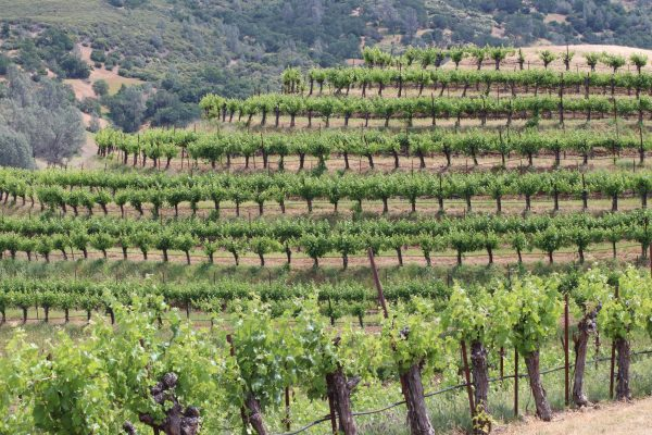 Vineyards at Dollar hide Ranch in the heat of summer