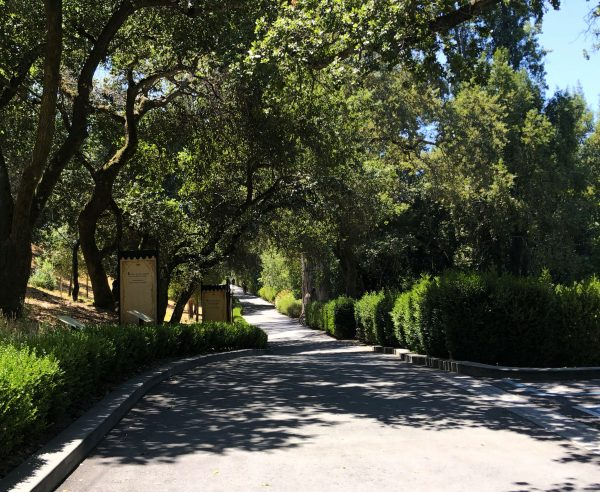 A tree lined pathway greets you at Buena Vista Winery, Photo by Kelly Mitchell the Wine Siren