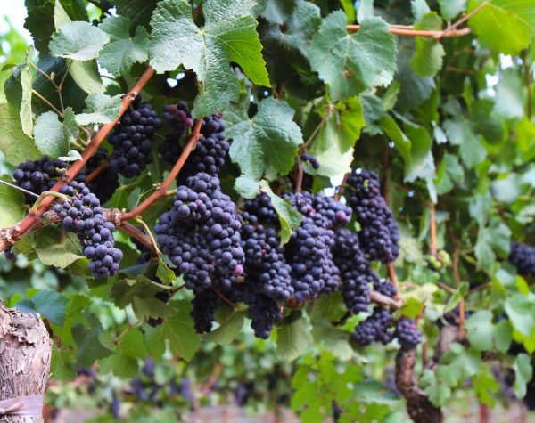 4 bunchs of purple grapes on the vine