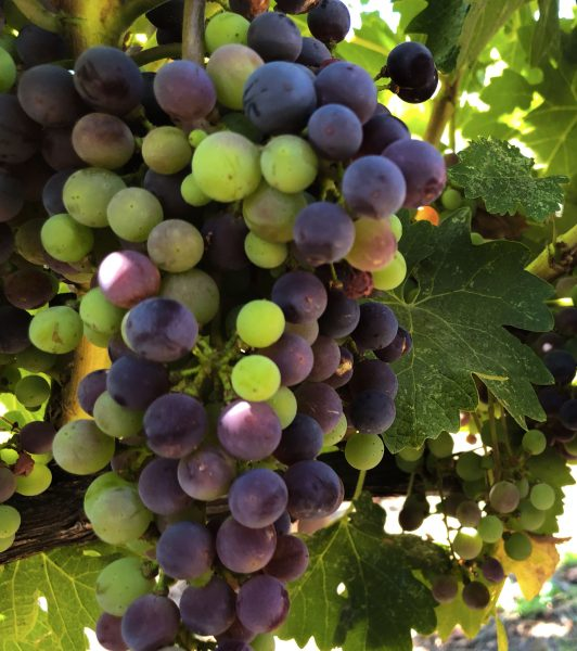 A bunch of grapes from Raymond Vineyards going through veraison