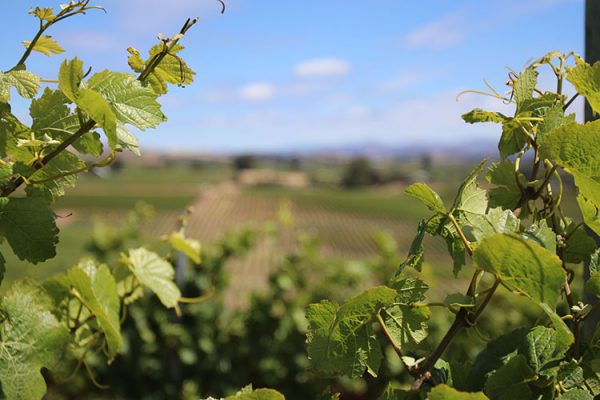 Framed by the vines, the views looking up Napa Valley from the vineyards at Bouchaine.